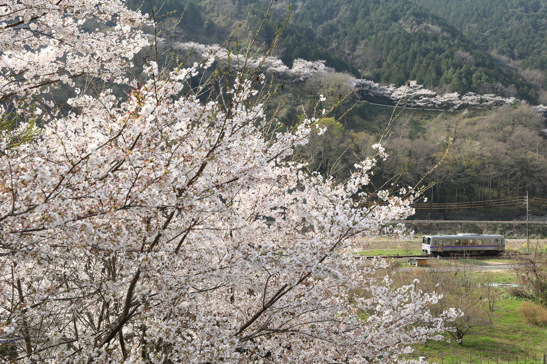 キラ☆キラ 午後の日差しに桜輝く